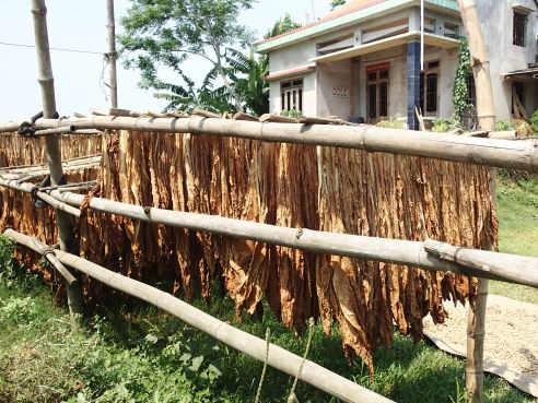 Tobacco leaves drying in the front yard.